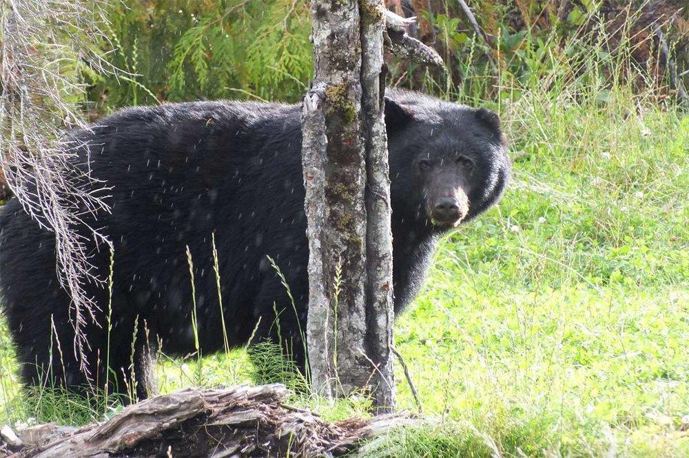 kapoose-creek-black-bear.1400x0.jpg