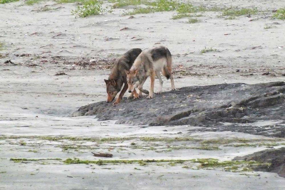 kapoose-creek-wolf-b.1400x0.jpg