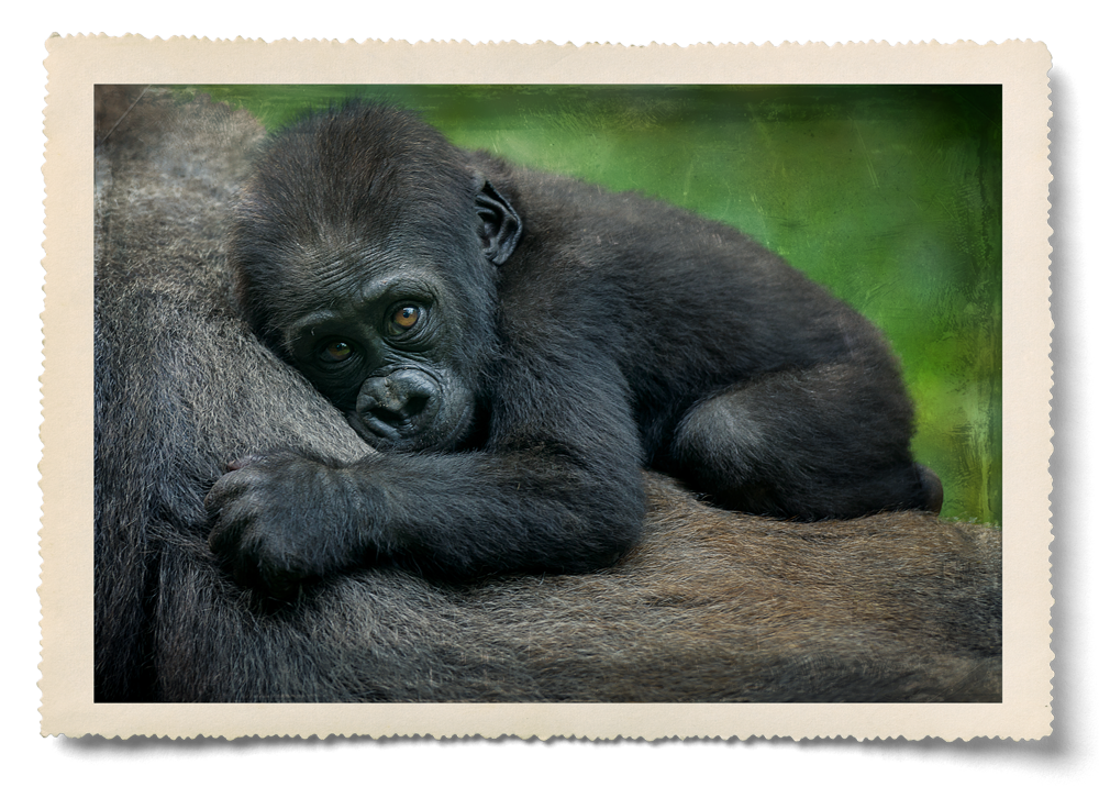 sleeping-gorilla.png