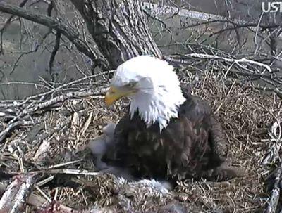 Eaglet51