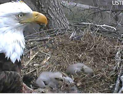 Eaglet46