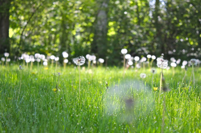 dandelion-field