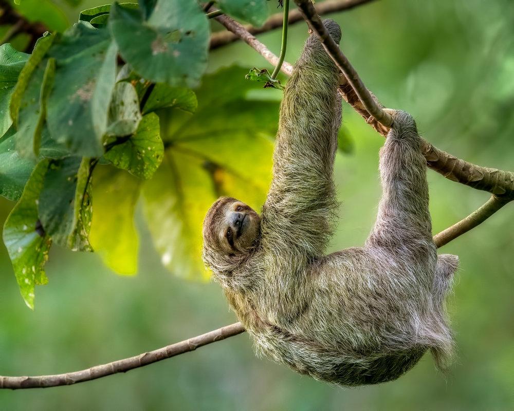 hanging three toed sloth.jpg