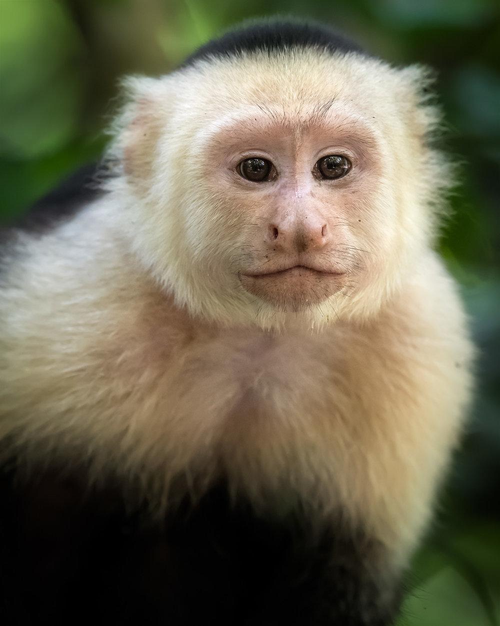 white-faced-monkey-portrait.jpg