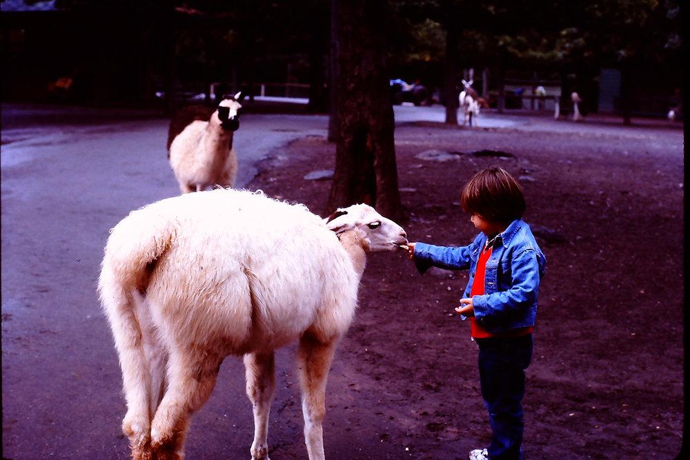 feeding a llama