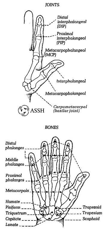 hand_BonesJoints.jpg