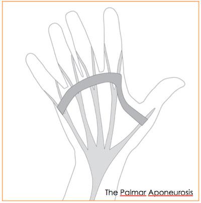 Figure 2: the Palmer Aponeurosis