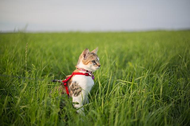 Cat+wearing+a+harness.jpeg
