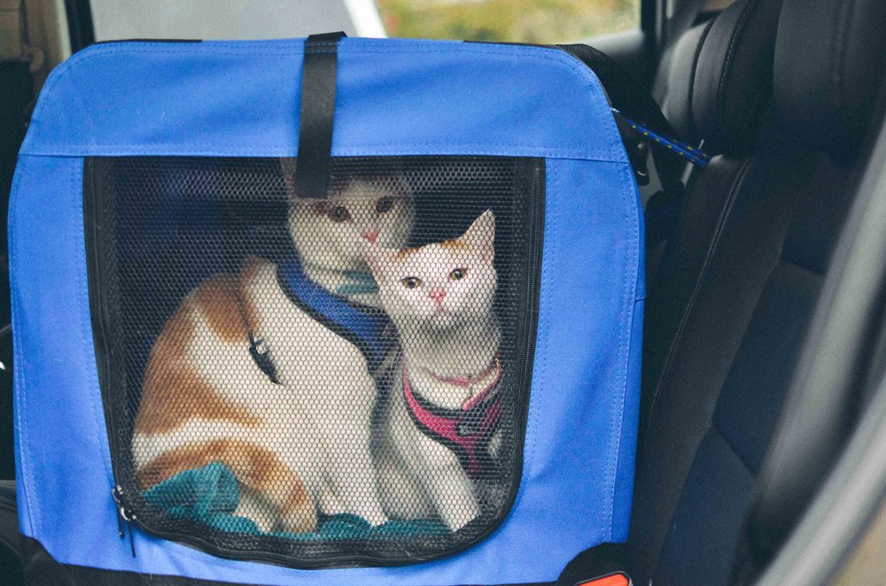 Lumos and Noxie in their carrier in the car