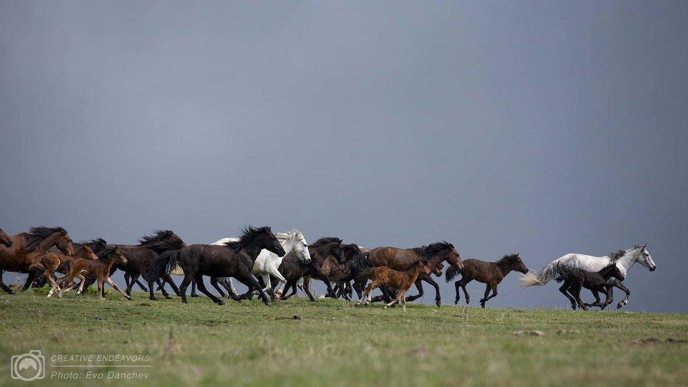 wild-horse-herd-running-bulgaria-evo-instructor-portfolio.jpg