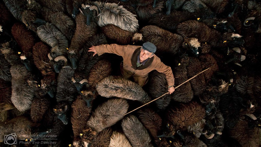 shepherd-with-karakachan-sheep-bulgaria-evo-instructor-portfolio.jpg