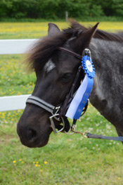 Name:  Dixie  Breed: Welsh Pony Mare Date of Birth: 2000 History: Hunter/Jumper, Showing  Owned by Elizabeth Hankel