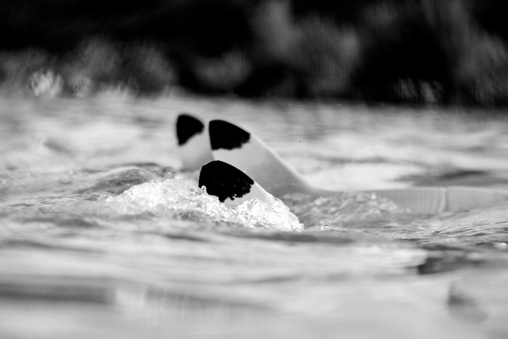 black tip reef sharks, by Perrin James