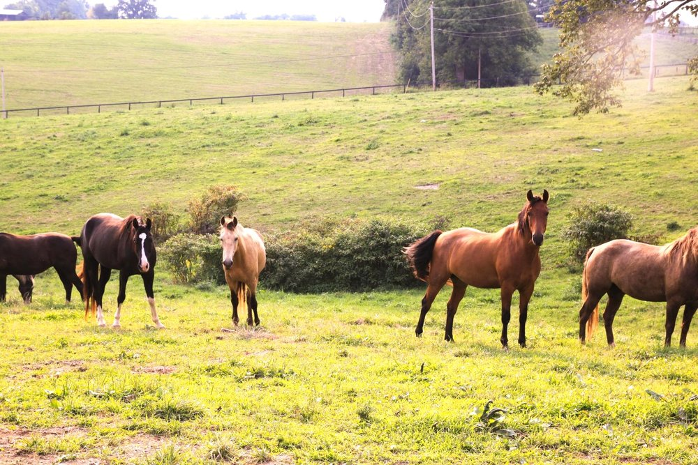 sales - Looking for your next gaited or trained horse? We have a wonderful selection of horses available for sale.