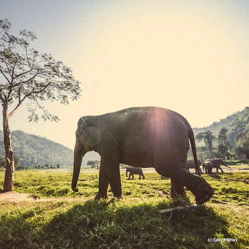 Elephant conservation in thailand - Discover shifting viewpoints on conservation & the role elephants play in modern Thai society by visiting communities that work with elephants