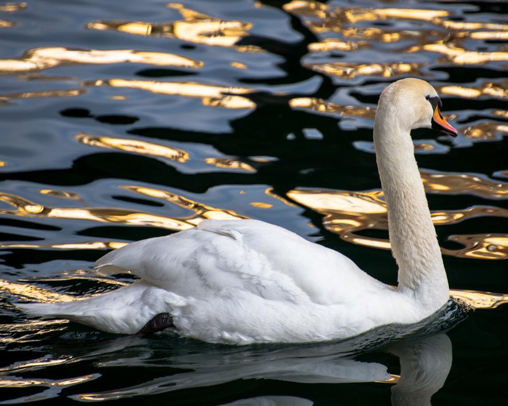 Swan Lake - 2014