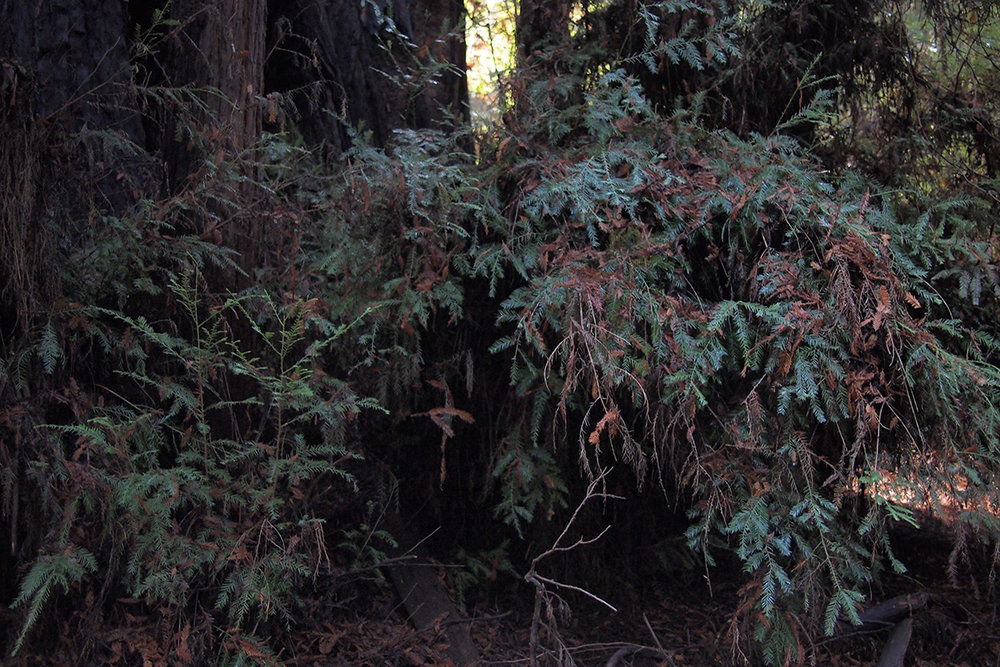 henry-cowell-state-park_24369516737_o.jpg