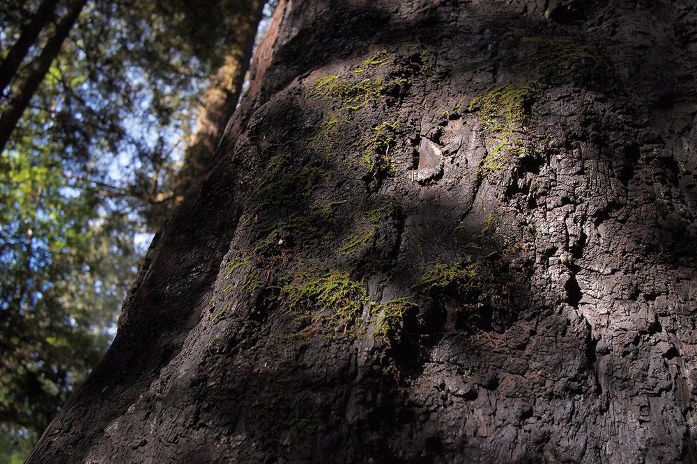 henry-cowell-state-park_24369517347_o.jpg