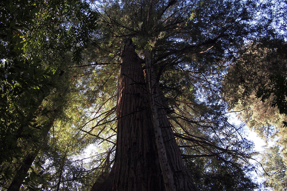 henry-cowell-state-park_38523794244_o.jpg
