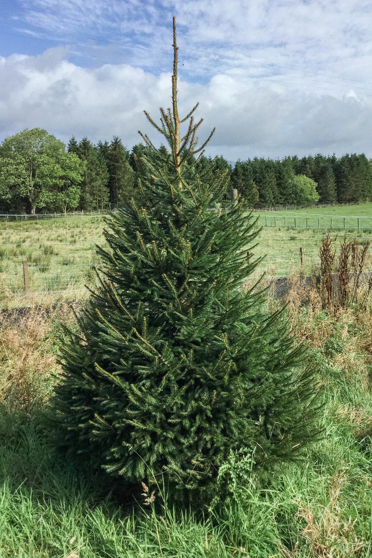 Duff-Trees-Norway-Spruce-.jpg