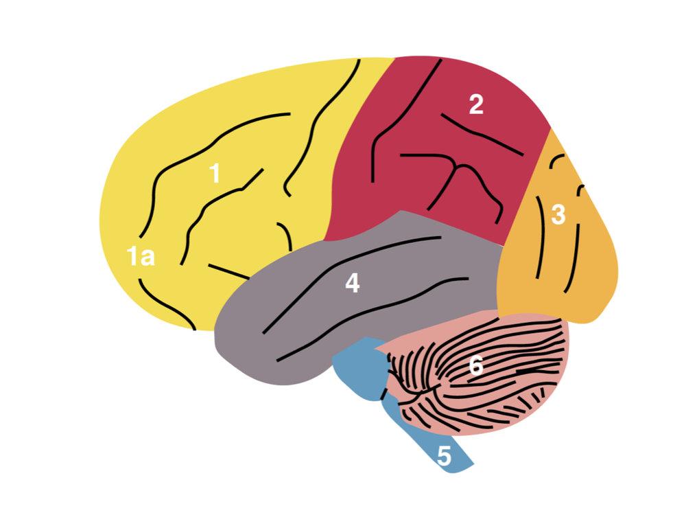 1, 2, 3, 4 = the Cerebral Cortex