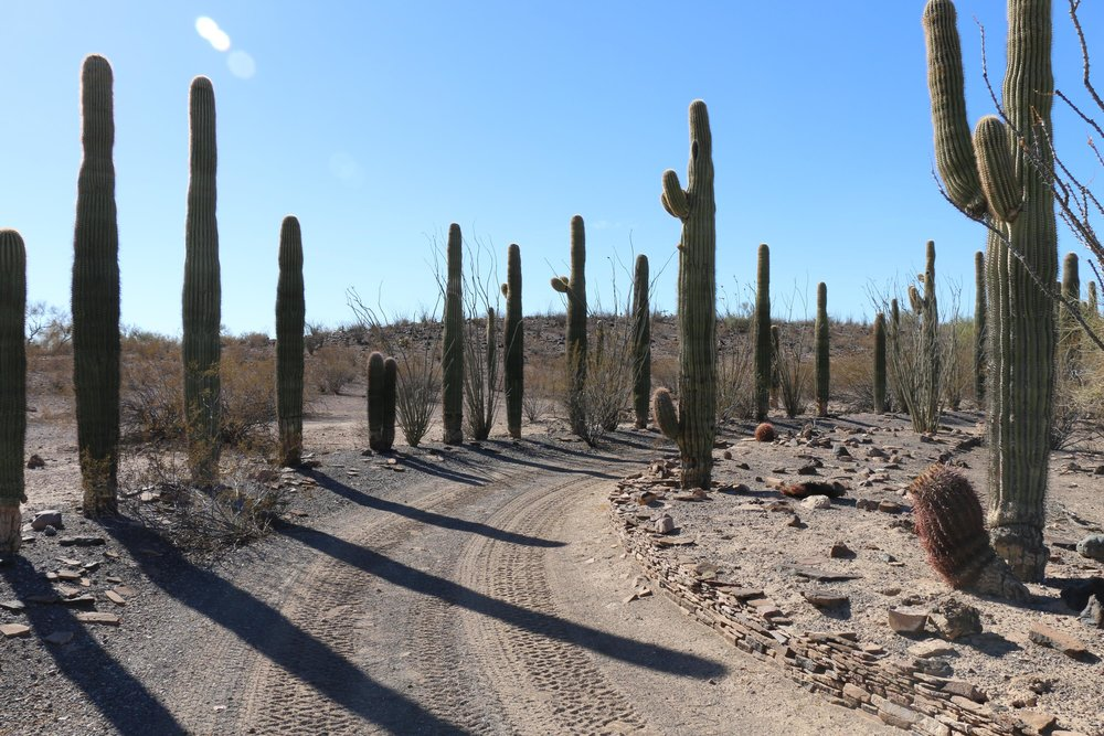 The cactus lined driveway is one of the few remains of the site which is deep within the Little Horn Mountains within Kofa.
