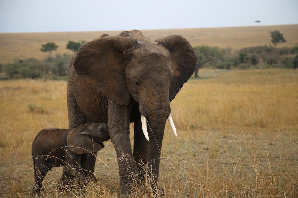Baby elephant nursing Maasai Mara