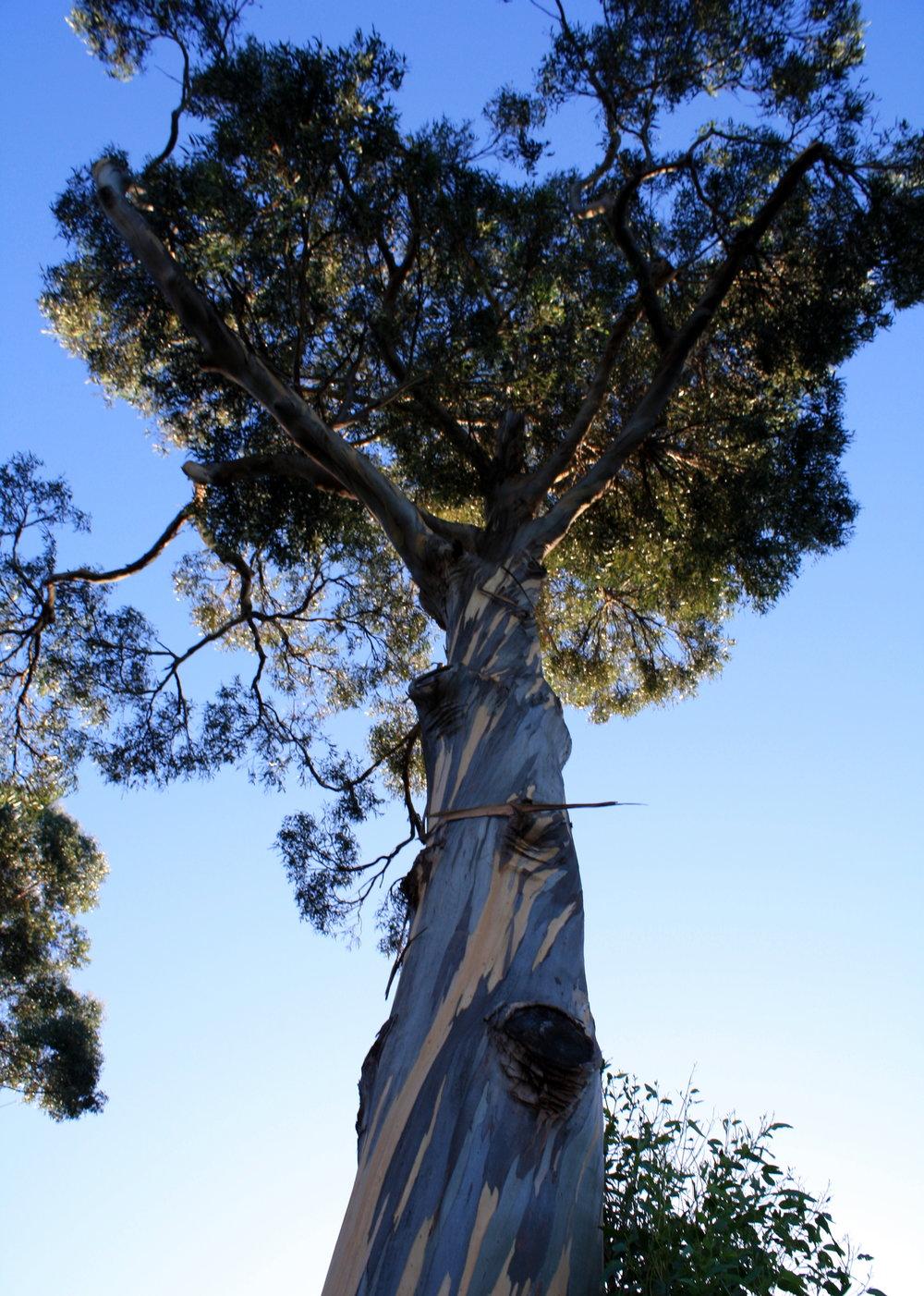 eucalyptus tree Tasmania