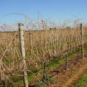 vinifera3.jpg