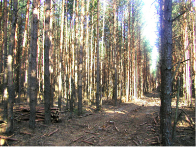 Highly flammable, overly crowded pine forests on sandy soils in the Chernobyl Exclusion Zone