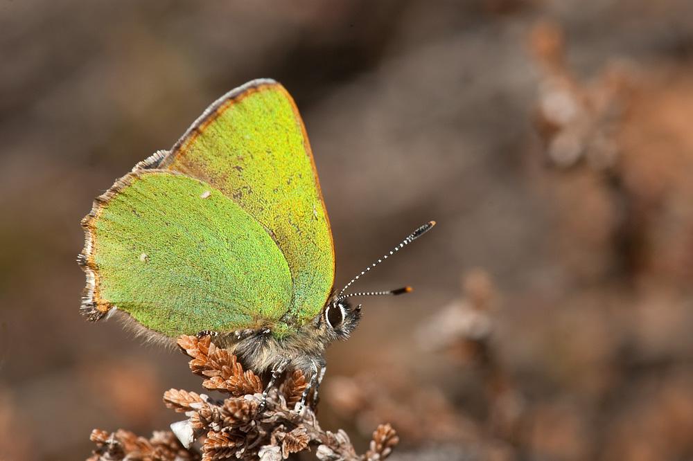 Grøn busksommerfugl (Melby Overdrev)