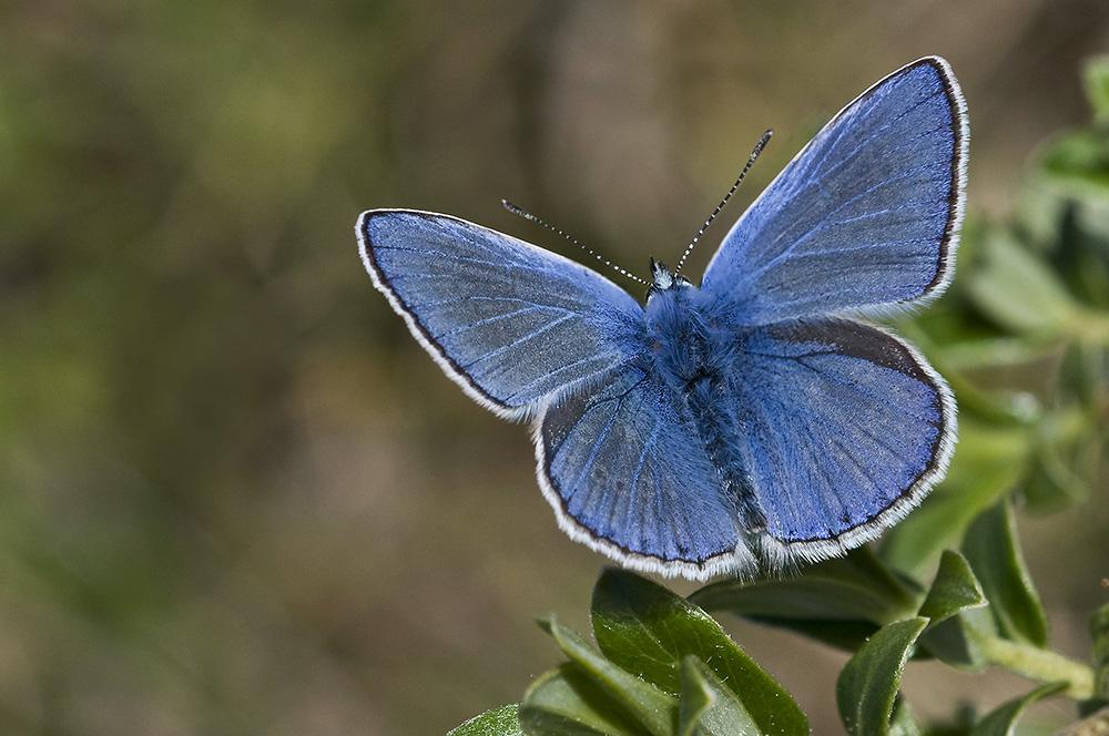 Almindelig blåfugl (Melby Overdrev)
