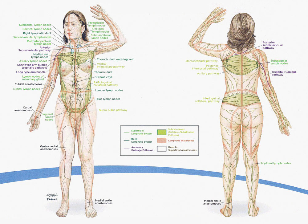 Primary and Collateral Lymphatic System