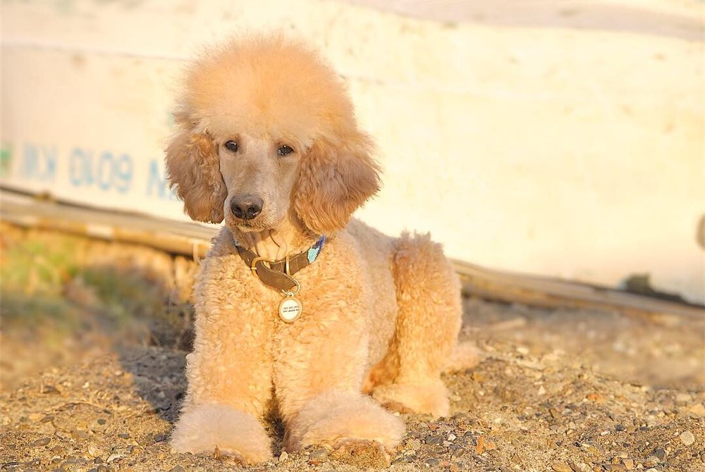 Doug the Standard Poodle (dad)    Birthdate:  1/26/2018  Weight:  52lbs  Color:  Apricot