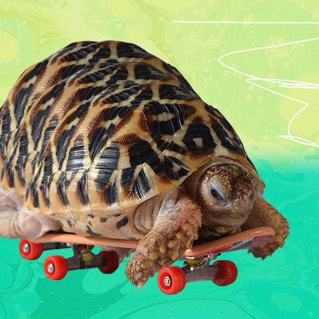 "Watch....out....I'm....coming....right....for....you.... ˙ You've seen those ""slow thinkers keep right"" bumper stickers? Turtles prove that's a myth. Not only are they the ultimate extreme athletes (they're born with helmets), but speed is relative. Everybody goes at their own pace. ˙ ˙ ˙ ˙ ˙ ˙ ˙ ˙ ˙ #therapypets #mentalhealth #turtlesofinstagram"