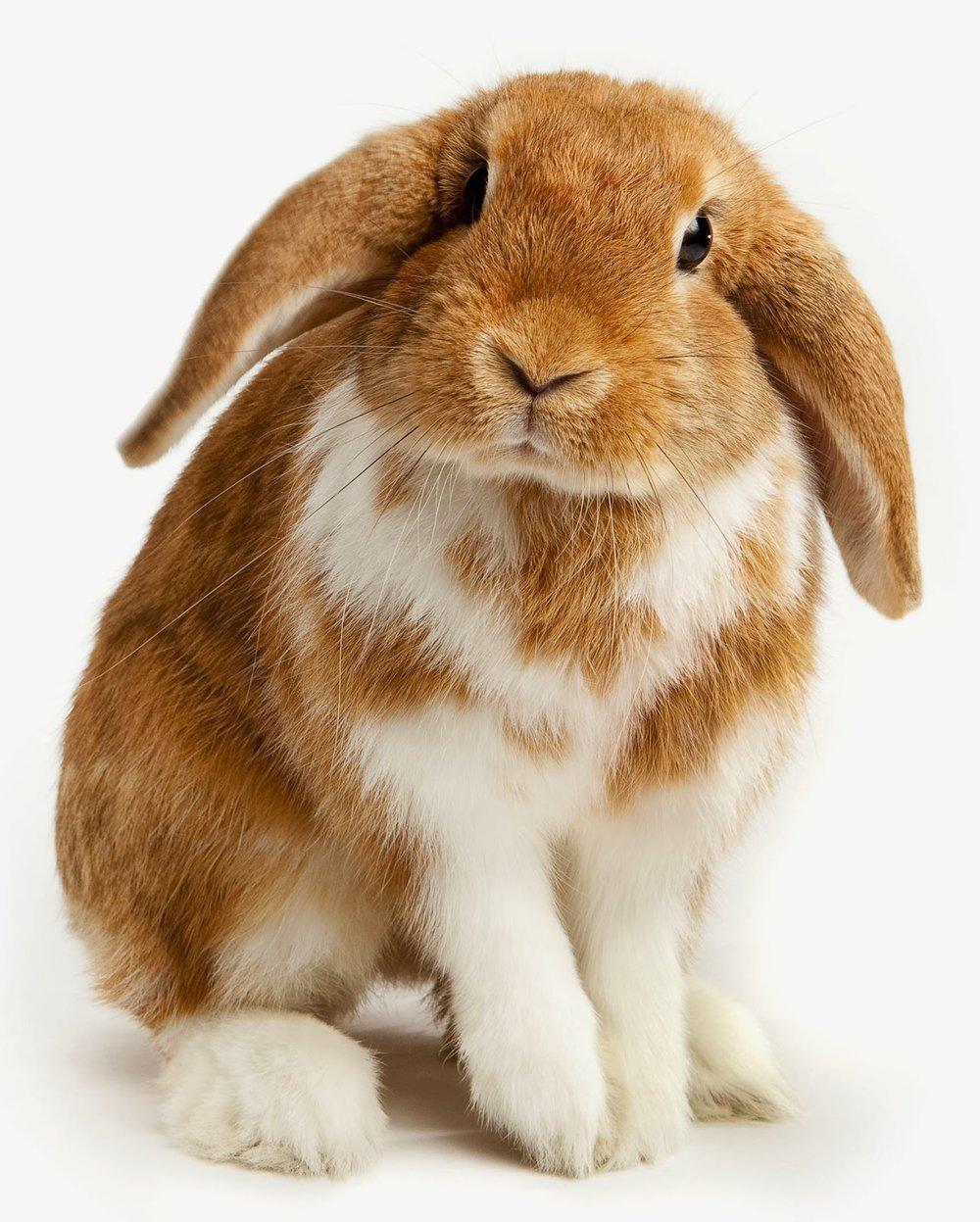 Lop-Eared-Pet-Rabbit5.jpg