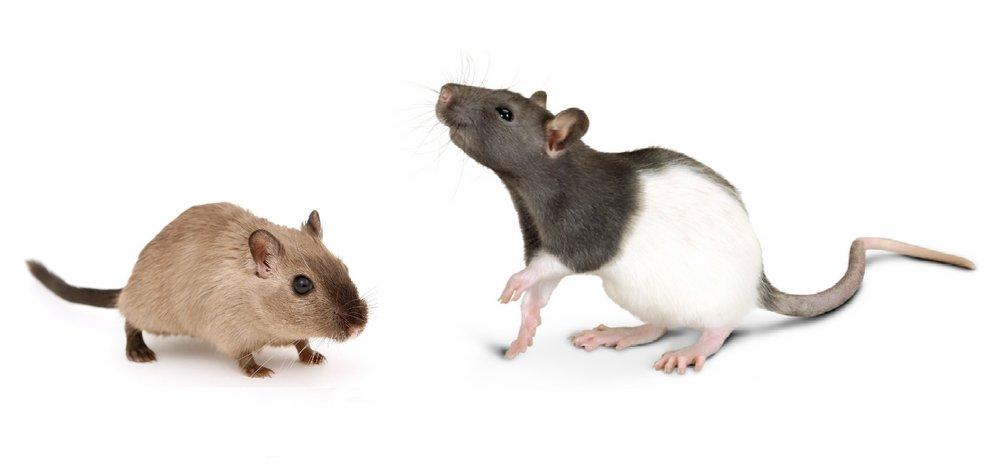 mouseandrat.jpg
