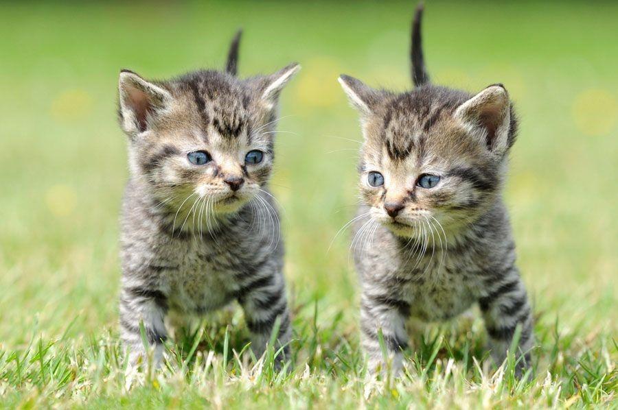 Kitten Information Package