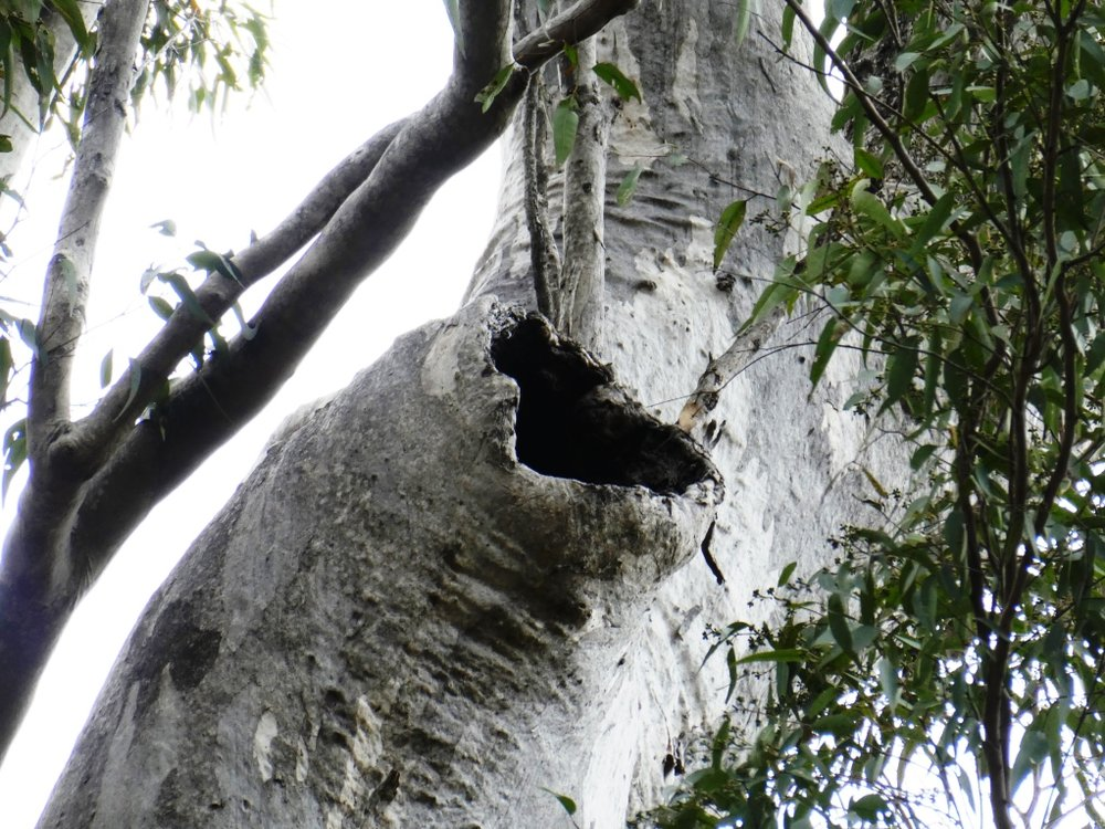 Flora and fauna assessments_tree hollows are valuable habitat