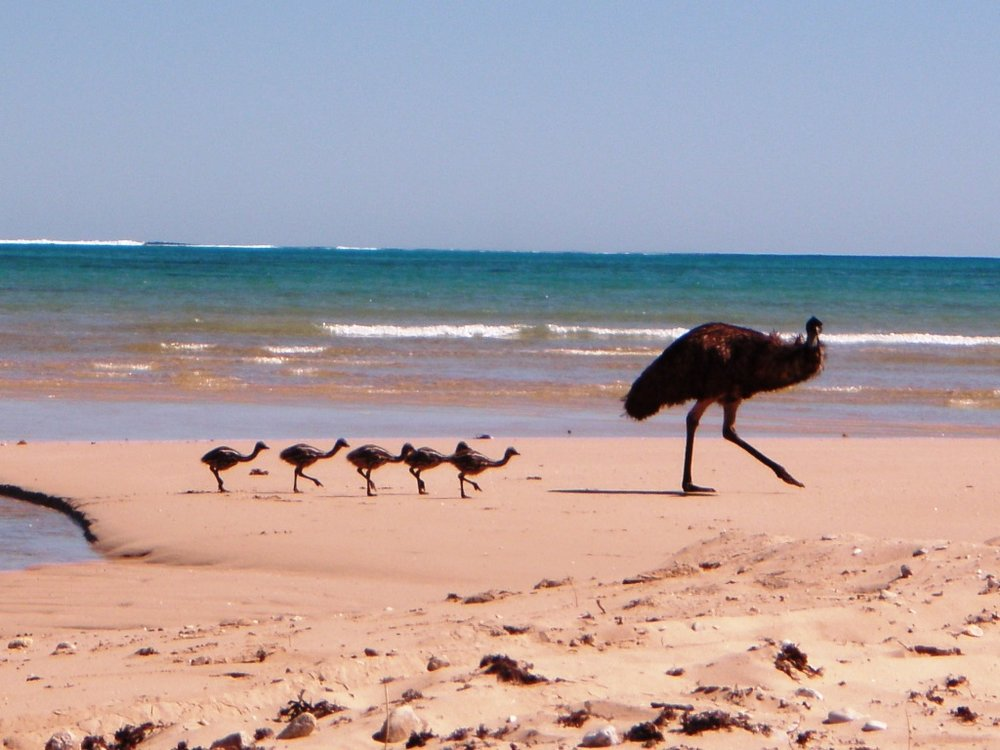 Emus on the beach - fauna surveys.JPG