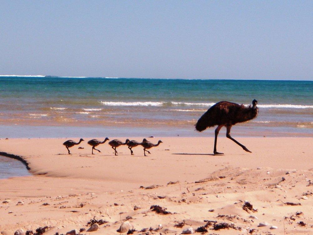 Emus on the beach - fauna surveys.JPG