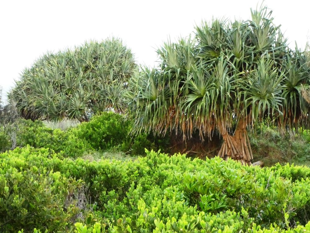 Ecological assessments - Coastal Pandanus.JPG