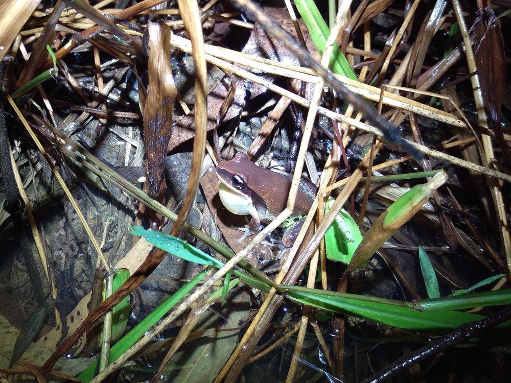 Green Thighed Frog - frog surveys.jpg