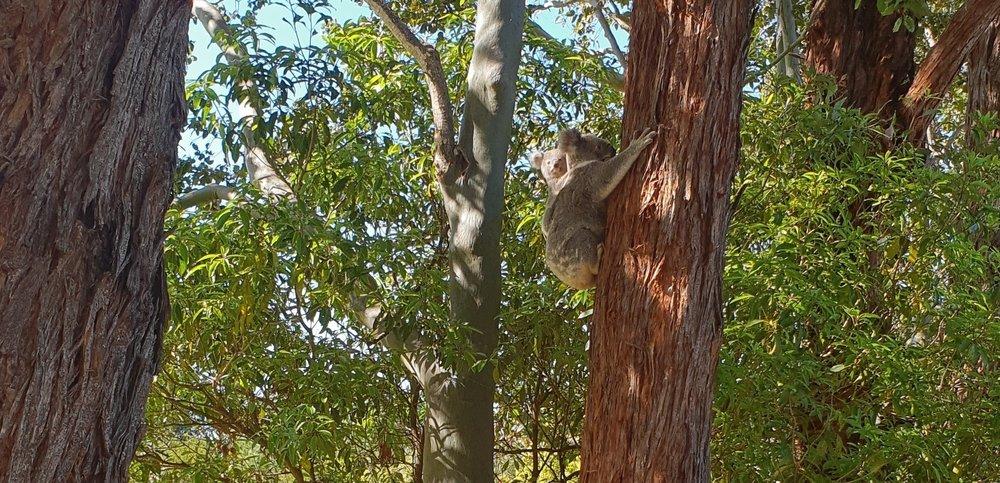 Koala+with+Young.jpg