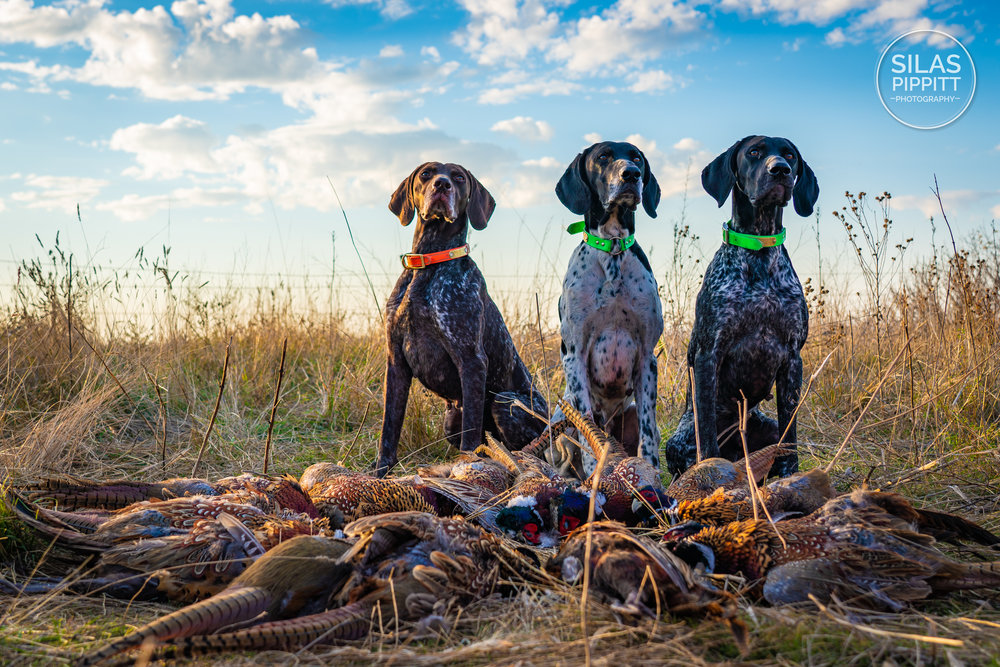 German Shorthaired Pointers after Pheasant Hunt