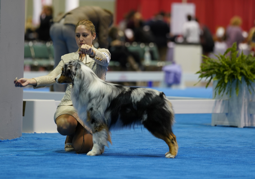 DSC80-Australian Shepherds (1 of 1).jpg