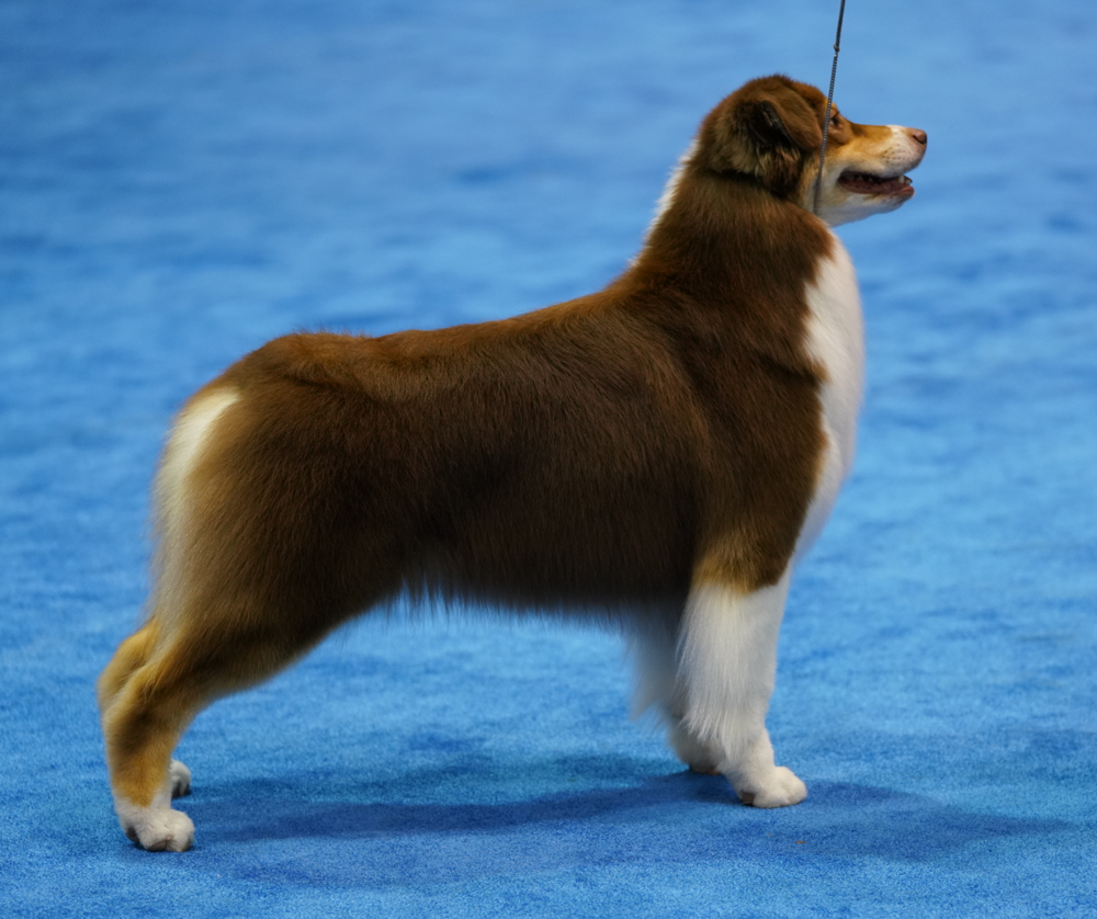 DSC0111-Australian Shepherds (1 of 1).jpg