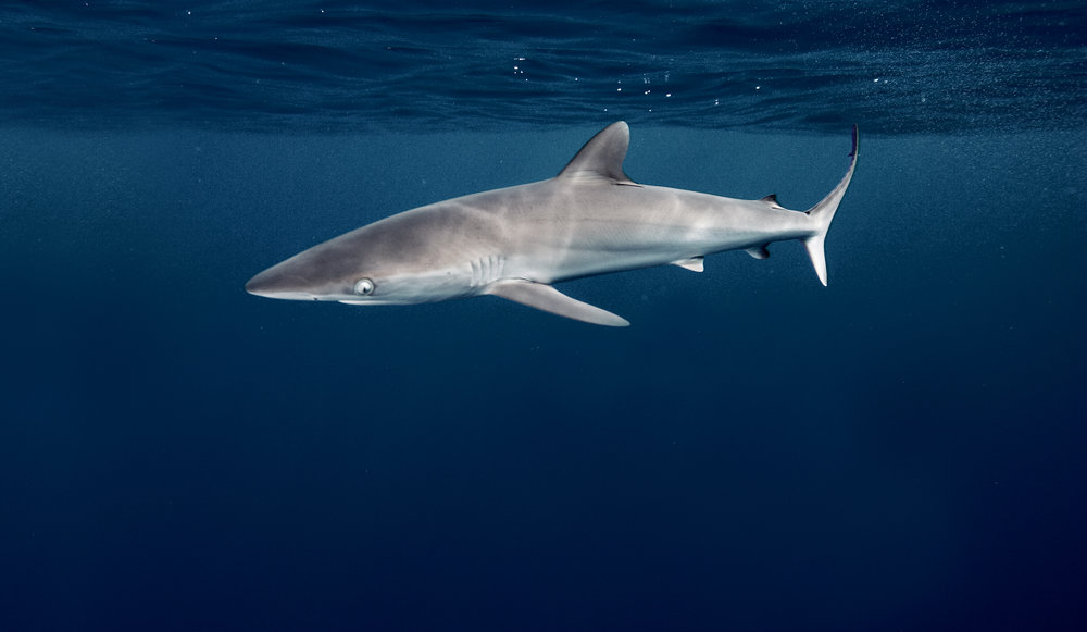 Silky shark | Alex Hofford