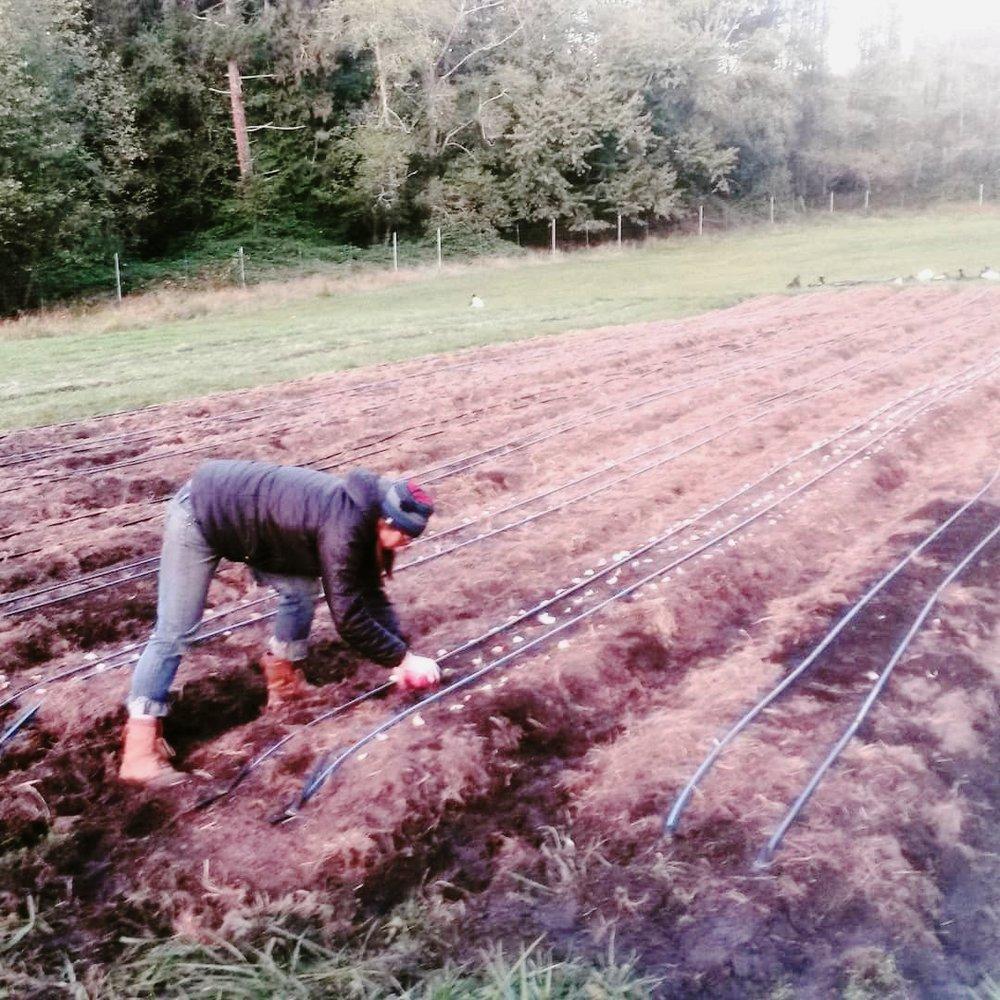 garlic_planting_2018.jpg