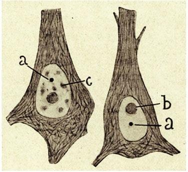 Cajal bodies